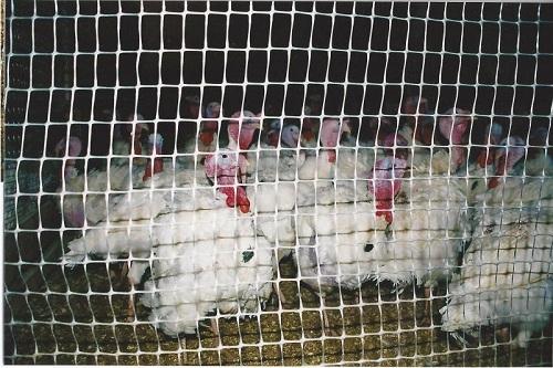 Использование пластиковой сетки в качестве заграждения для домашних птиц